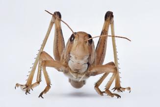 Wanderheuschrecke (Locusta migratoria)